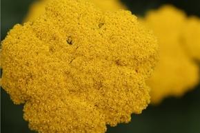 【图片分享计划】饿了的狮王_172 植物 菜花