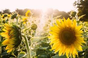 【图片分享计划】向日葵花
