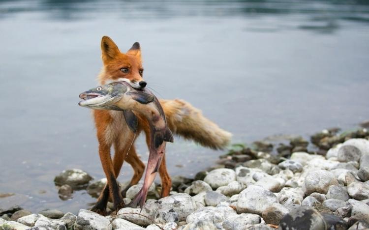 图片素材 野生动物园ppt模板 【图片分享计划】饿了的狮王_776 吃鱼