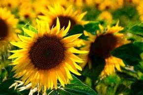 【图片分享计划】向日葵