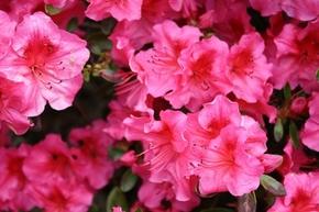 【桌面壁纸】 粉色花朵图