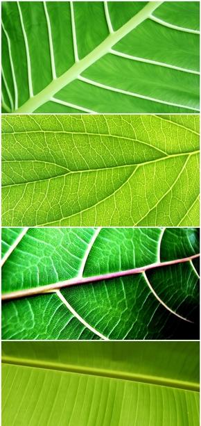 精选5款叶子叶脉特写PPT背景图片