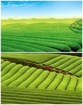 精选2款茶山茶园风景PPT背景图片