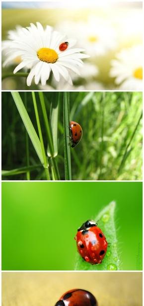 精选13款可爱的七星瓢虫PPT背景图片