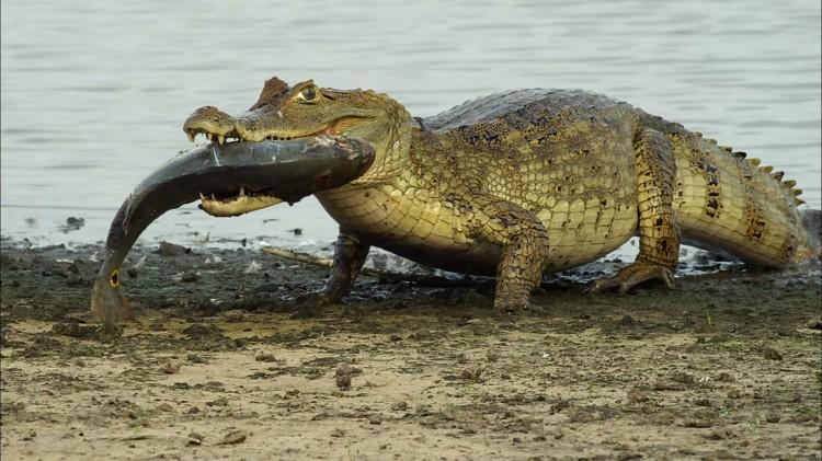 【图片分享计划】饿了的狮王_809 动物 扬子鳄吃鱼