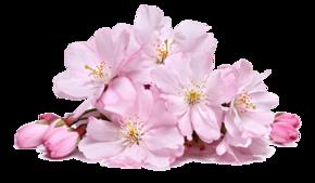 桃花透明png素材