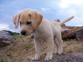 【图片分享计划】拉布拉多 狗
