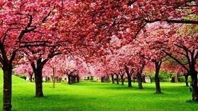 【海报分享计划】自然风光3-樱桃树