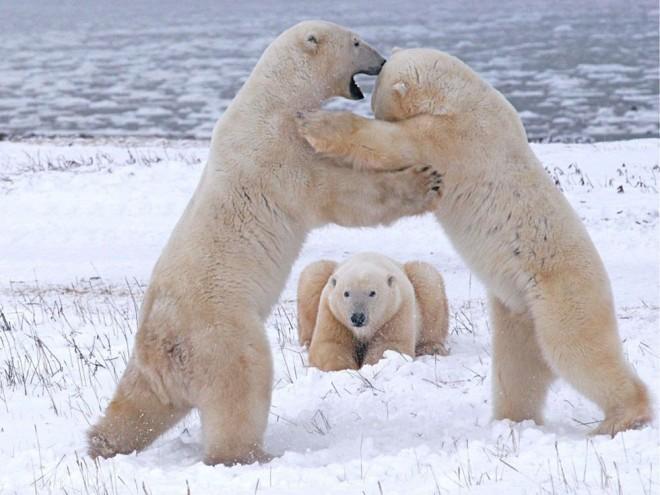 【海报分享计划】野生动物61-北极熊 - 演界网,中国