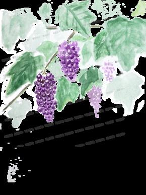 水彩-葡萄[1图][透明背景][原创][可转售][可商用]