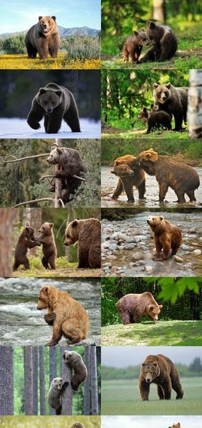 野生棕熊摄影图片