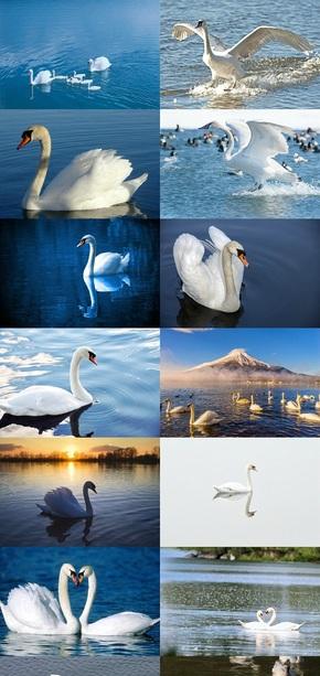 美丽白天鹅图片