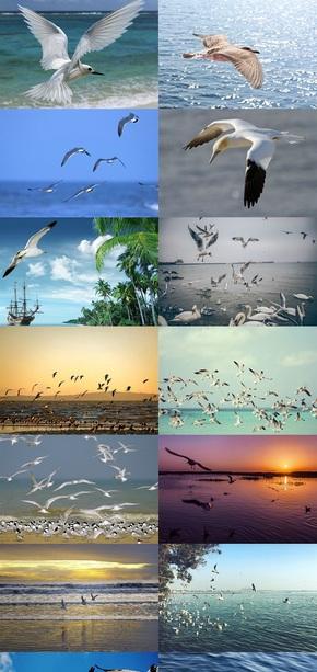 飞翔的海鸥摄影图片