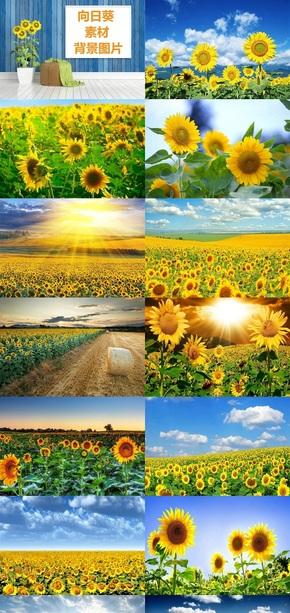 向日葵素材背景图片