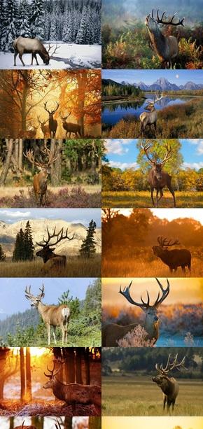 四不像素材麋鹿摄影图片