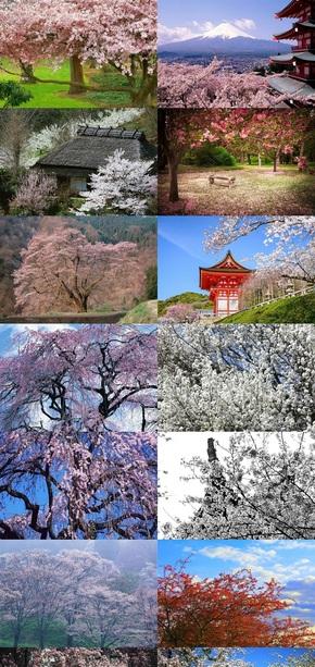 樱花树风景摄影图片
