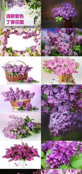 清新紫色丁香花图